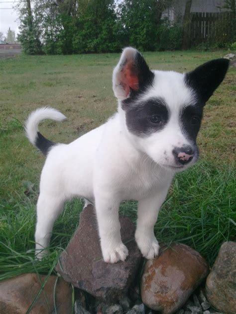 mcnab mix  possibly lab  heeler dandy dogs cute