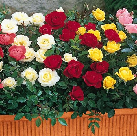 miniature roses miniature roses