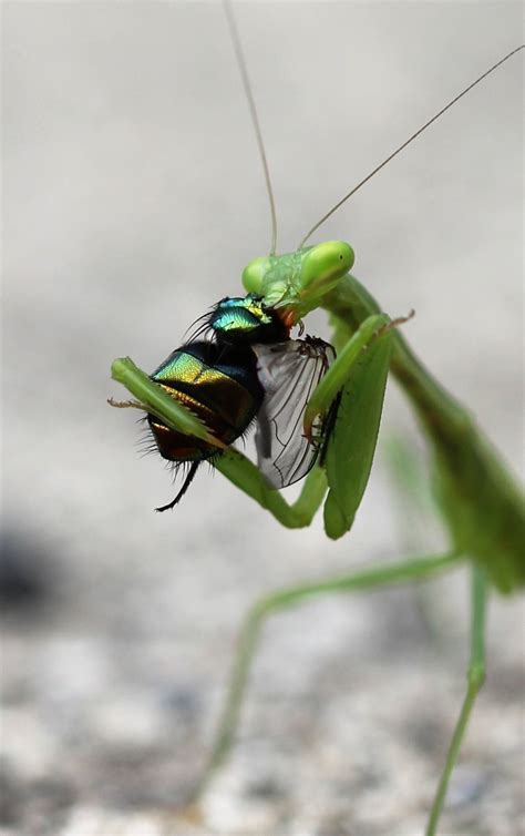 mantis praying eating african insects south fly beneficial prey animal bugs insect eats flies caffra nature africans they care sheet
