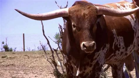 bar  ranch killer  bull texas longhorn beef