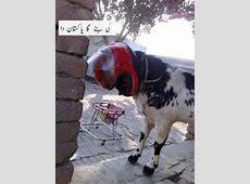 Funny Bakra Eid EideQurban Wallpapers Photos Pictures