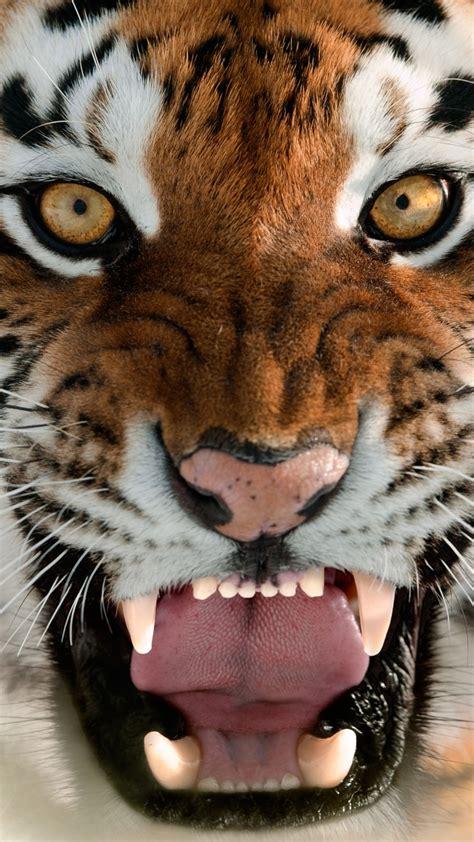 wallpaper tiger muzzle grin amur tiger portrait