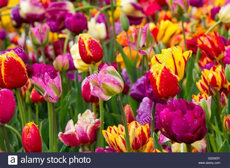 Tulips Tulip Spring Flower Garden Background Nature Red