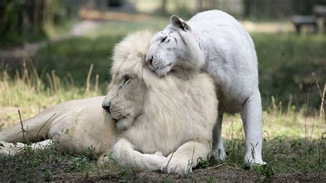 The White Lion Animal Color Mutations Lioness
