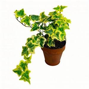 Pflanze Für Dunkle Räume : 11 zimmerpflanzen f r dunkle ecken pflanzen ~ A.2002-acura-tl-radio.info Haus und Dekorationen