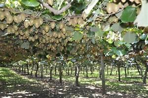 L Arbre Du Kiwi : quel arbre fait des kiwi ~ Melissatoandfro.com Idées de Décoration
