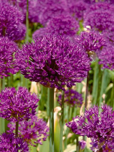 allium bulbs for sale allium purple sensation gold
