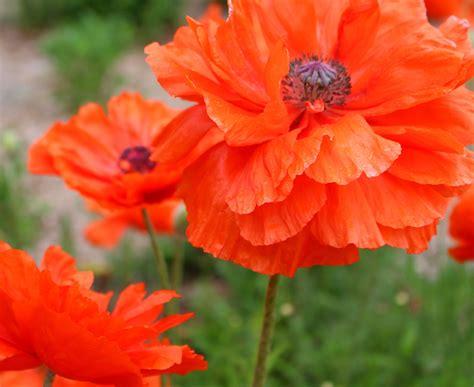 poppy varieties pictures oriental poppy the garden spotter