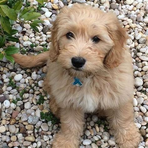 goldendoodle dog names  paws
