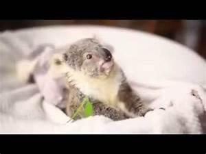 koala bebe - YouTube