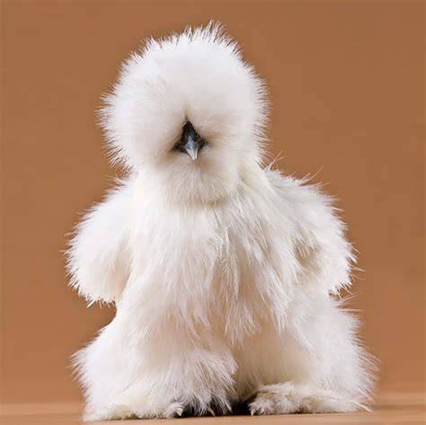 tool boxes for sale day white silkie bantam from my pet chicken