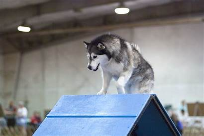 Malamute Alaskan Dog Agility Frame Young Sports