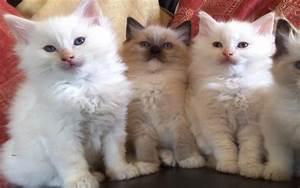 Hd, Ragdoll, Kittens, Wallpaper