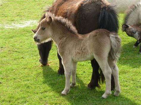 miniature horse bourne horses pets4homes ago years