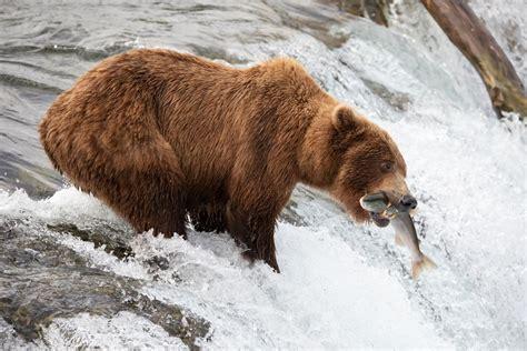 fat bear weeks bears survived  historically hot summer