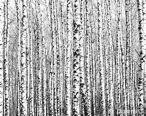 Papier Peint Arbre Noir Et Blanc : papier peint troncs de printemps de bouleaux noir et blanc pixers nous vivons pour changer ~ Nature-et-papiers.com Idées de Décoration