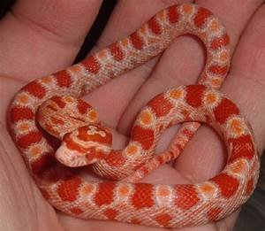 kingsnake.com photo gallery > Reptiles and Amphibians ...