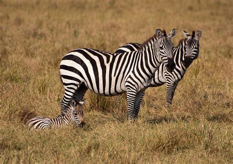 Zebra Family Photograph By Francois Gagnon