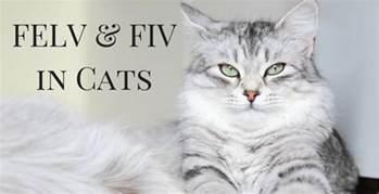 connecticut cat connection fiv felv cats connecticut cat connection