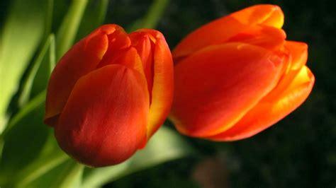 Flowers, Tulips, Flower, Two, Tulip, Petal