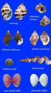 57 Best Seashell Identification Around The World Images