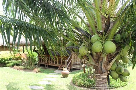 davao del nortes amazing coconut water choose