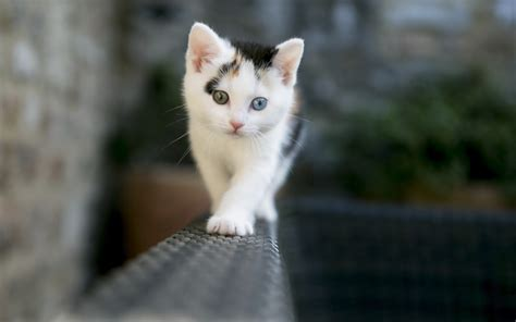 Cat Animal Wallpaper - cat kittens depth of field animals heterochromia