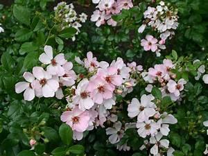 Sweet Pretty Rose : bodendeckerrose 39 sweet haze 39 sch nste rosen expertenwissen ~ A.2002-acura-tl-radio.info Haus und Dekorationen