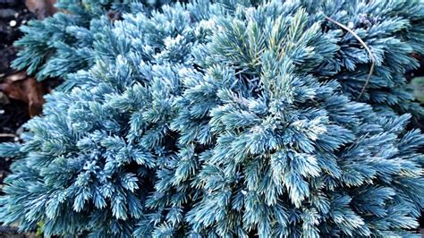 blue juniper blue star juniper more deer candy joene s garden
