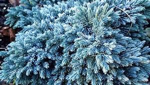 Blue Star Juniper–More Deer Candy - joene's garden