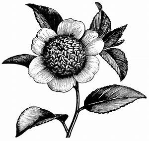 Camellia Flower ~ Free Vintage Clip Art | Old Design Shop Blog