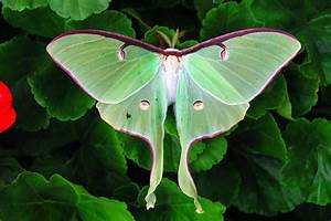 The Beautiful, Endangedred Luna Moth - No Need for Control
