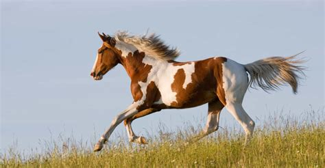 horse appaloosa running american wild breeds shutterstock horses nice young them country