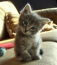Too Cute Kitten Cat