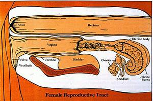Female Anatomy And Histology Pictures