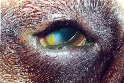 entropion  dogs cats  irritating eyelid problem