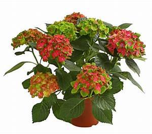 Hortensie Als Zimmerpflanze : dehner premium hortensie 39 schloss wackerbarth 39 dehner ~ Lizthompson.info Haus und Dekorationen