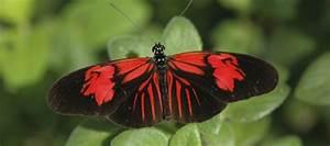 Id Guide  Red Butterflies  U2013 Exhibits
