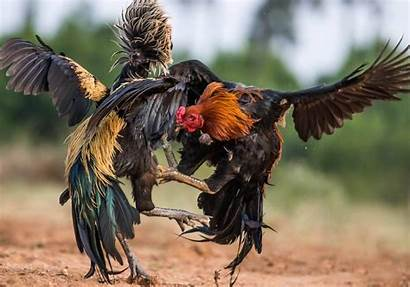 Roosters Fighting Looking Rooster Magnificent Fight During
