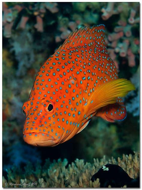 grouper coral fotocommunity arndt reinhard