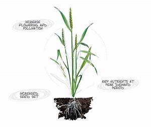Wheat Plant Parts Diagram Choice Image - How To Guide And ...