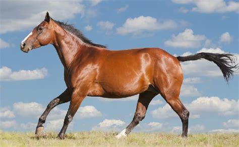 horse breeds quarter eventing breed american horses bay characteristics levels