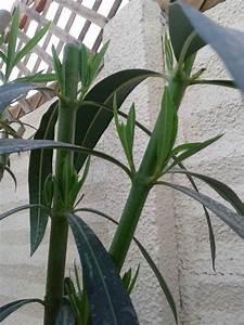 Oleander Zurückschneiden Video : oleander zur ckschneiden garten und fuchsienfreunde ~ Lizthompson.info Haus und Dekorationen