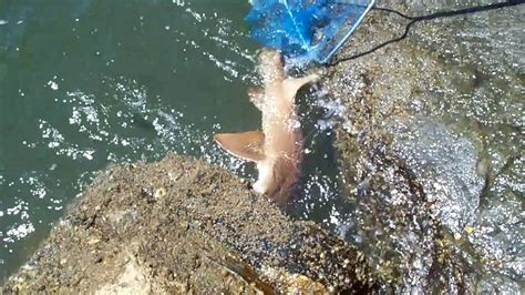 inlet ponce jetty fishing shark north
