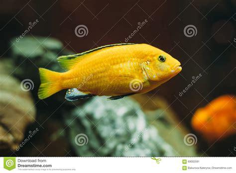 poissons d aquarium cichlidae photo stock image 69002591