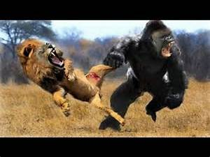 Image Gallery lion vs gorilla