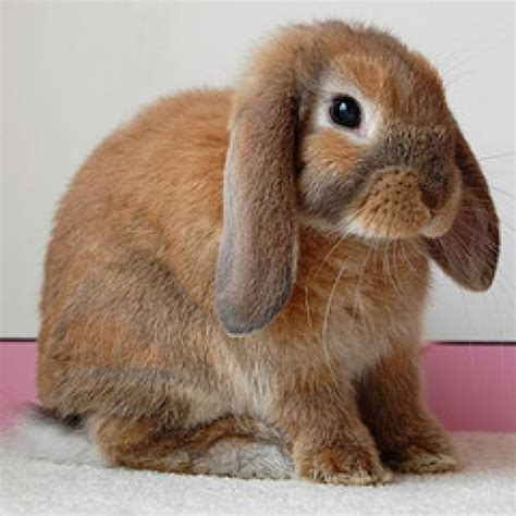 lop eared rabbit lop eared rabbits are bred specifically for pet and show purposes