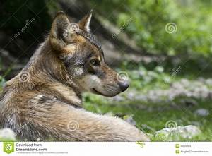 Portrait, Of, Young, Wolf, Stock, Photography