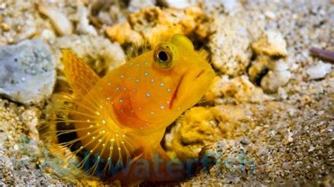 yellow watchman shrimpgoby super special gobies