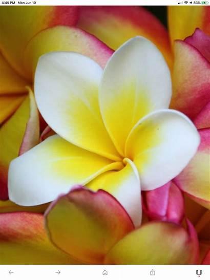 Iphone Flower Wallpapers Cool Flowers Backgrounds Hawaiian